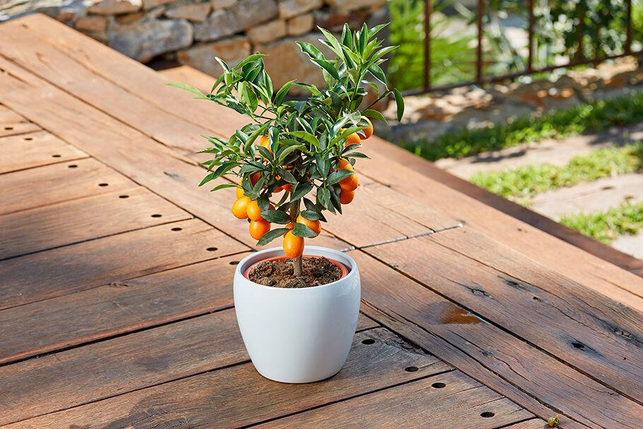 thumb_giambo-vivaio-inspiration_1594741308_giambo-citrus-plants.jpg