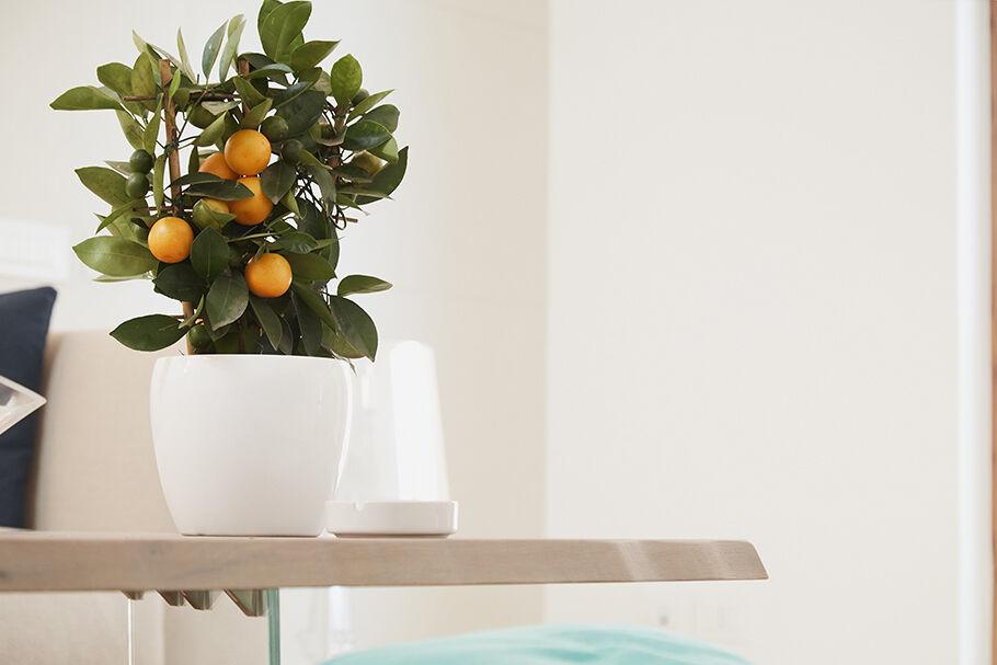 thumb_giambo-vivaio-inspiration_1596206683_giambo-piante-mandarino-ornamentale.jpg
