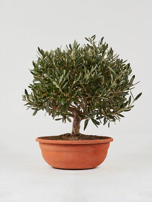 giambo-vito-vivaio-piante-olivo.jpg