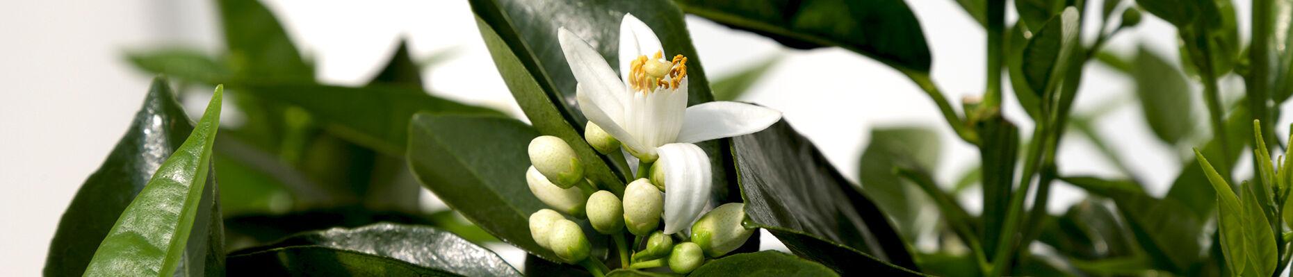 fiore-arancio-giambo-piante.jpg