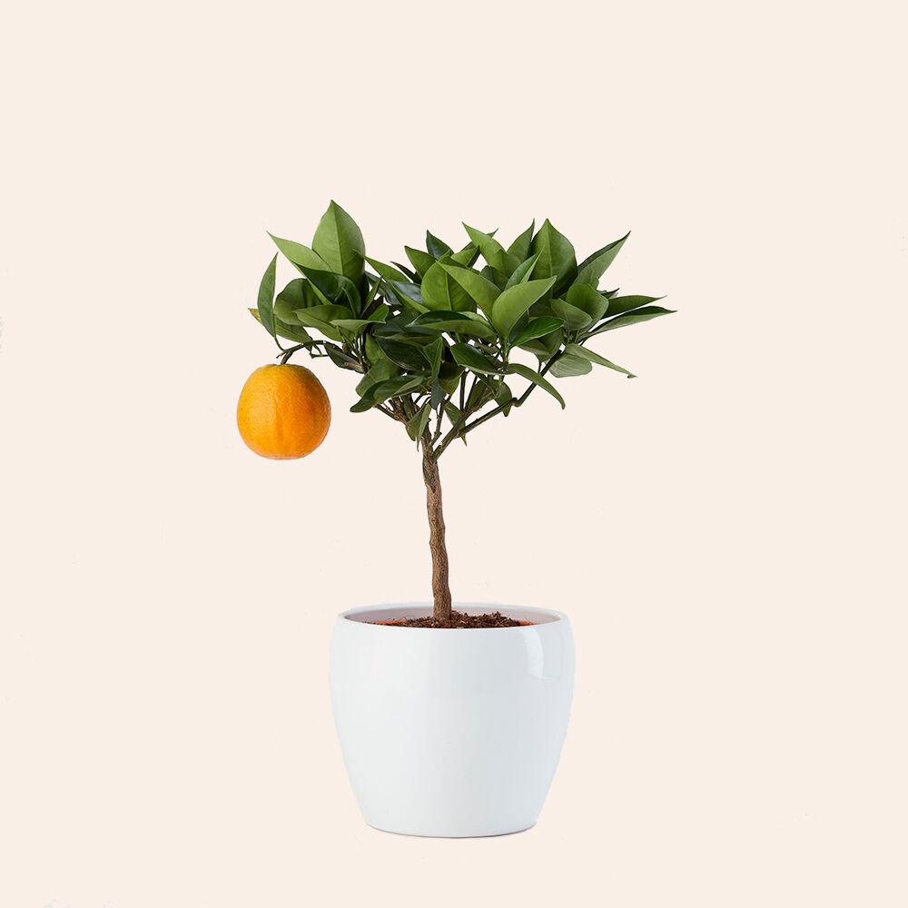 arancia-vito-giambo-piante.jpg