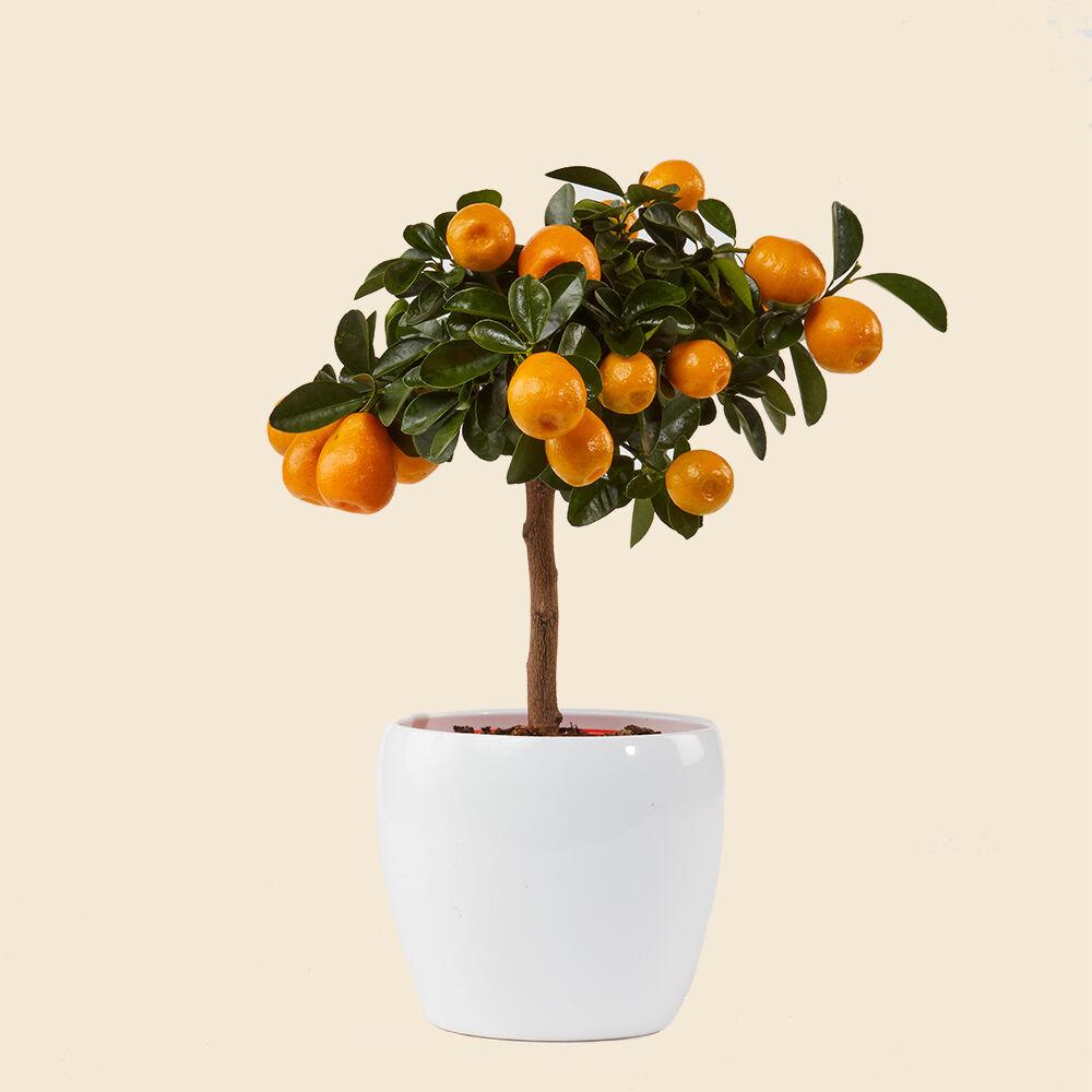kumquat-vito-giambo-piante.jpg