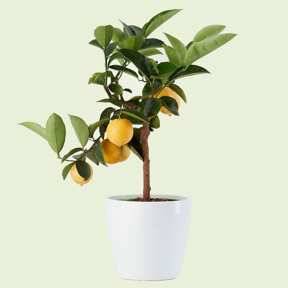 limette-vito-giambo-piante.jpg
