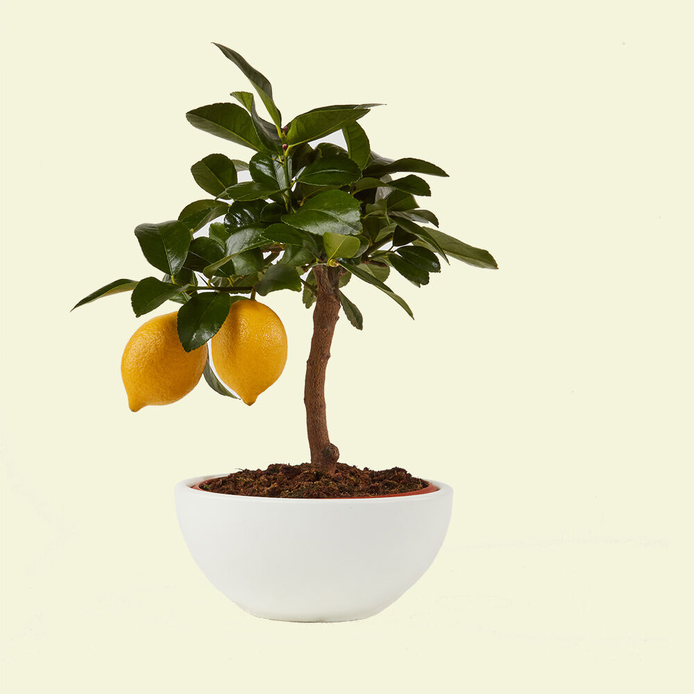limone-vito-giambo-piante.jpg