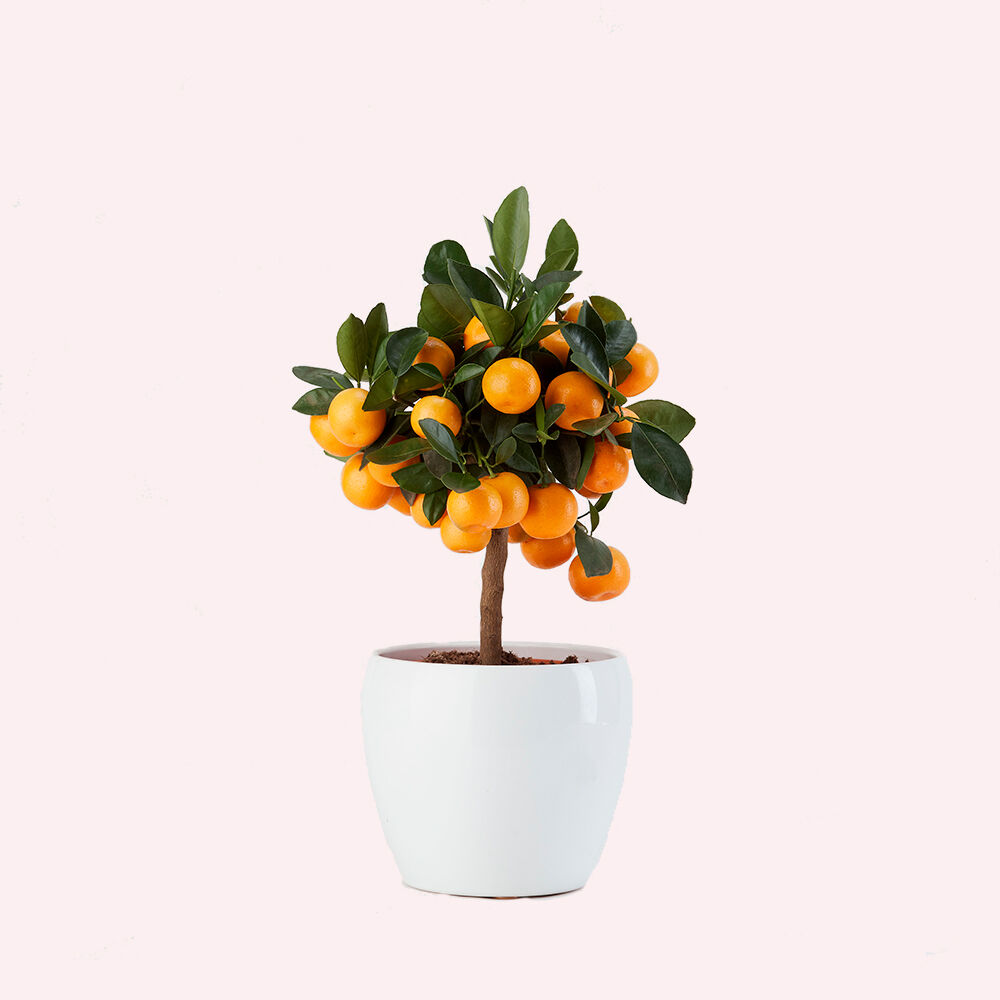mandarino-vito-giambo-piante.jpg