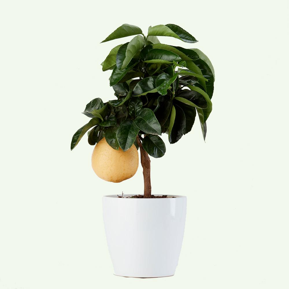 pompelmo-vito-giambo-piante.jpg